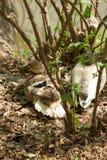 Χήνα στη χλόη στο πάρκο στοκ φωτογραφία με δικαίωμα ελεύθερης χρήσης