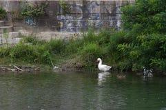Χήνα στον ποταμό Po στοκ φωτογραφία με δικαίωμα ελεύθερης χρήσης