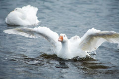 χήνα Στοκ εικόνα με δικαίωμα ελεύθερης χρήσης