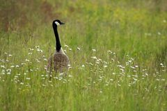 χήνα canadensis του Καναδά branta Στοκ εικόνα με δικαίωμα ελεύθερης χρήσης