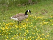 Χήνα Candian στα κίτρινα λουλούδια Στοκ Εικόνες