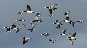 Χήνες λαβίδων κατά την πτήση Στοκ Εικόνες