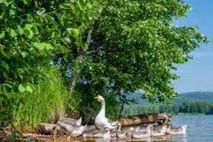 Χήνες από το νερό Στοκ εικόνα με δικαίωμα ελεύθερης χρήσης