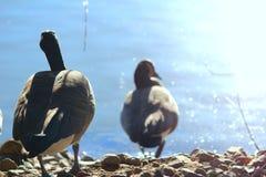 Χήνες από το νερό Στοκ Φωτογραφίες