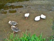 Χήνες και κύκνοι που στηρίζονται από τον ποταμό Slaney Στοκ Εικόνες