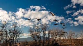 Χήνες κατά την πτήση στοκ εικόνα με δικαίωμα ελεύθερης χρήσης