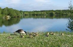 Χήνες με τα χηνάρια μωρών τους Στοκ φωτογραφία με δικαίωμα ελεύθερης χρήσης