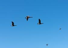 Χήνες με την κύρια πτήση παπιών Στοκ φωτογραφία με δικαίωμα ελεύθερης χρήσης