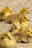 χήνες μωρών Στοκ φωτογραφία με δικαίωμα ελεύθερης χρήσης