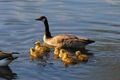 χήνες μωρών mom Στοκ Εικόνες