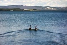 Χήνες που κολυμπούν σε μια μεγάλη λίμνη στο πάρκο yellowstone στο καλοκαίρι στοκ εικόνες με δικαίωμα ελεύθερης χρήσης