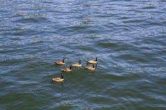 Χήνες που κολυμπούν στον ποταμό Willamette στο Πόρτλαντ Όρεγκον στοκ εικόνα