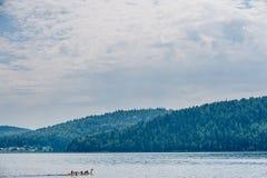 Χήνες που κολυμπούν στον ποταμό Στοκ Φωτογραφίες