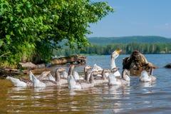 Χήνες που κολυμπούν στον ποταμό Στοκ Εικόνες