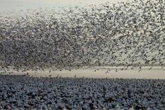 Χήνες που τρέπονται σε φυγή Στοκ φωτογραφία με δικαίωμα ελεύθερης χρήσης