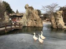 Χήνες σε μια παγωμένη λίμνη στην Κορέα στοκ φωτογραφία