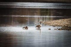 Χήνες στα ρηχά νερά στην ακτή λιμνών στοκ εικόνες