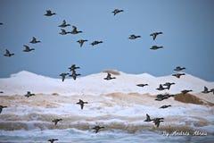 Χήνες στην ακτή Muskegon norton Στοκ εικόνες με δικαίωμα ελεύθερης χρήσης
