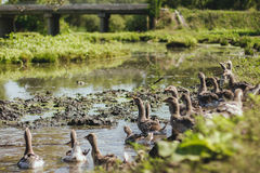 Χήνες στη λάσπη στην όχθη ποταμού στοκ εικόνα