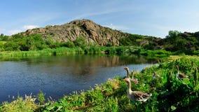 Χήνες στη λίμνη Στοκ φωτογραφία με δικαίωμα ελεύθερης χρήσης