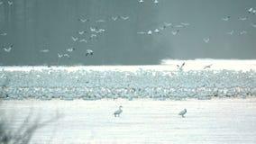 Χήνες χιονιού που τρέπονται σε φυγή στο πρωί φιλμ μικρού μήκους