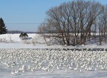 Χήνες χιονιού Στοκ φωτογραφία με δικαίωμα ελεύθερης χρήσης