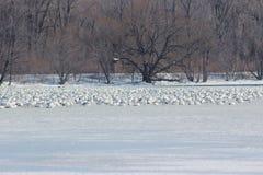 Χήνες χιονιού Στοκ Εικόνες