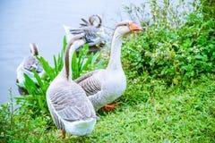 Χήνων και του Κύκνου σταχτόχηνα που περπατά στο πάρκο Στοκ εικόνες με δικαίωμα ελεύθερης χρήσης