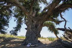 Χίλιο χρονών δρύινο δέντρο Lavender του φεστιβάλ του αγροκτήματος 123 Στοκ εικόνες με δικαίωμα ελεύθερης χρήσης
