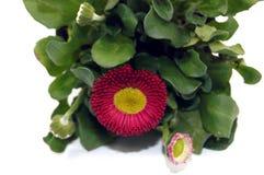 Χίλιο όμορφο λουλούδι που απελευθερώνεται στο άσπρο υπόβαθρο Στοκ Εικόνες