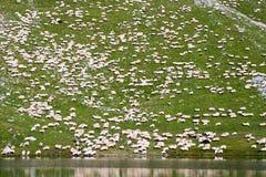 Χίλια από τα πρόβατα Στοκ εικόνες με δικαίωμα ελεύθερης χρήσης