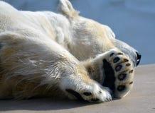 Χαλάρωση Polarbear στοκ φωτογραφία με δικαίωμα ελεύθερης χρήσης