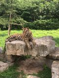 Χαλαρωμένη τίγρη που στηρίζεται μετά από το κυνήγι στοκ φωτογραφίες
