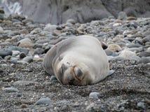 Χαλαρωμένος ύπνος σφραγίδων στην πλάτη του στοκ φωτογραφία με δικαίωμα ελεύθερης χρήσης