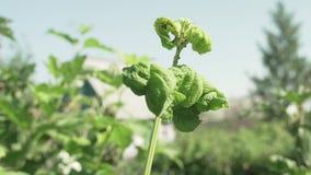 Χαλασμένα φύλλα Kalina από το επιβλαβές βίντεο μήκους σε πόδηα αποθεμάτων εντόμων aphids απόθεμα βίντεο