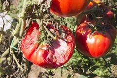 Χαλασμένη οργανική ντομάτα Στοκ Εικόνες