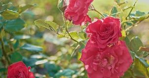 Χαλασμένος αυξήθηκε λουλούδια στον κήπο φθινοπώρου στον αέρα απόθεμα βίντεο