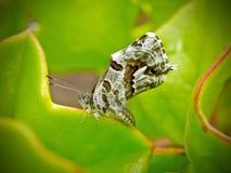 χαλκός πεταλούδων στοκ εικόνα
