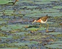 Χαλκός-φτερωτές νεολαίες jacana στοκ εικόνες