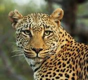 Χαλύβδινος-eyed λεοπάρδαλη Στοκ φωτογραφία με δικαίωμα ελεύθερης χρήσης