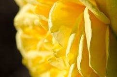 Χαμένος στις ευγενείς πτυχές του λεπτού Yellow Rose Στοκ Φωτογραφία