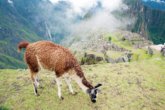 χαμένο picchu του Περού machu πόλεων llama στοκ φωτογραφίες