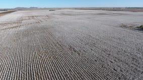 Χαμήλωμα της εναέριας άποψης ημέρας του μεγάλου τομέα βαμβακιού φιλμ μικρού μήκους
