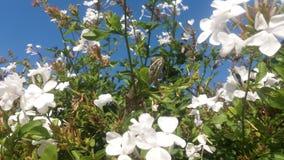 Χαμαιλέοντας που λιάζεται σε έναν άσπρο θάμνο λουλουδιών Στοκ φωτογραφία με δικαίωμα ελεύθερης χρήσης