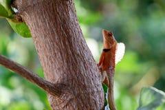 Χαμαιλέοντας που περπατά στο δέντρο, έρπον υπόβαθρο, πορτοκαλής χαμαιλέοντας στοκ εικόνες με δικαίωμα ελεύθερης χρήσης