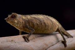 Χαμαιλέοντας του Καμερούν Stumptail, φάσμα Rhampholeon Στοκ Φωτογραφίες