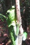 Χαμαιλέοντας στον κλάδο στο δάσος της Σρι Λάνκα στοκ φωτογραφίες με δικαίωμα ελεύθερης χρήσης