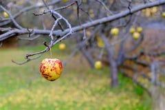 Χαμηλά κρεμώντας φρούτα στον οπωρώνα της Apple Στοκ Εικόνες