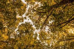 Χαμηλότερη άποψη σχετικά με το πορτοκαλί φύλλωμα δέντρων στην αρχή της πτώσης στο δάσος Στοκ Φωτογραφία