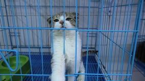 Χαμηλό έχον νώτα γατάκι στο κλουβί απόθεμα βίντεο